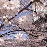 2016年、桜満開!写真一挙公開